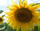 cumpără Miere de floarea-soarelui