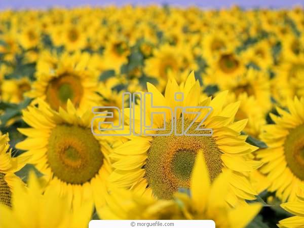 cumpără Floarea soarelui