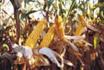 cumpără Seminte de porumb DKC 4983