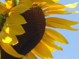 cumpără Seminte de floarea soarelui