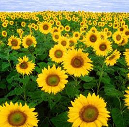 cumpără Floarea-soarelui