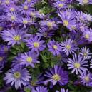 cumpără Bulbi de toamna - Anemone Blue Shades