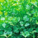 Seminte de legume - Plain Leaved