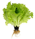 cumpără Salata