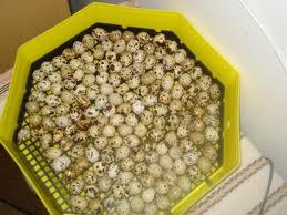 cumpără Oua de prepelite pentru incubat