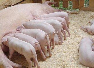 cumpără Porci