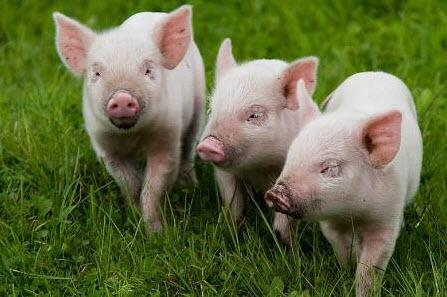cumpără Porci tineri