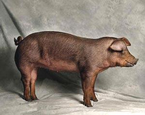 cumpără Porci de rasa