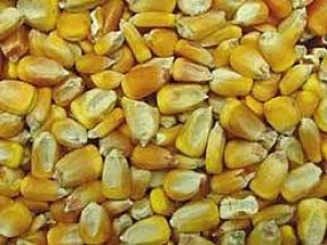 cumpără Seminte de porumb