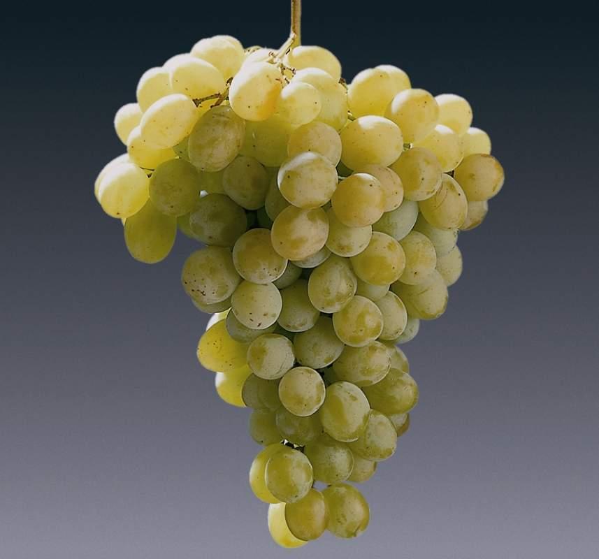 cumpără Afuz Ali (Soiuri albe de vin)
