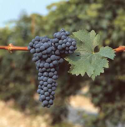 cumpără Cabernet Sauvignion (Soiuri rosii de vin)