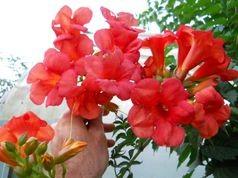 cumpără Campsis rosu Madame Gallen