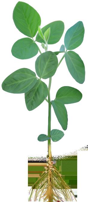 cumpără Seminţe de soia