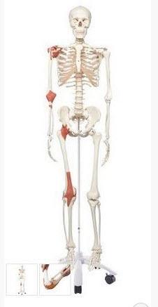 Acheter Moulage anatomique de l'homme