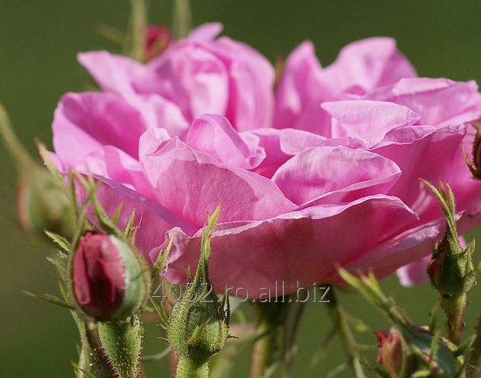 cumpără Apa de trandafir de Damasc Bio
