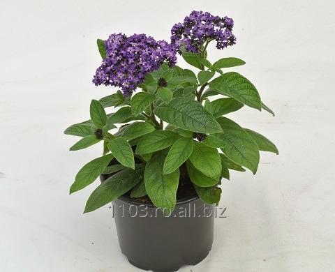 cumpără Floare de vanilie -Heliotropium