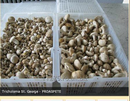 cumpără Ciuperci proaspete