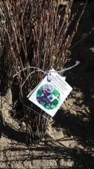 Blueberry seedlings