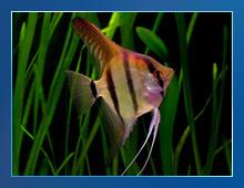 Scalar, Angel fish