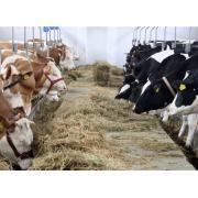 Vaci pentru lapte si vaci pentru carne