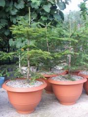 Pomi ornamentali la ghiveci