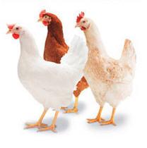 Premix vitamino-mineral 5% pentru gaini ouatoare