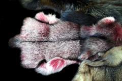 Blanuri de vulpe