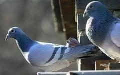 Tortel duiven