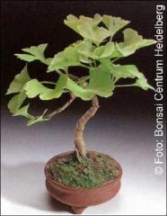 Bonsai Maidenhair Tree Gingko biloba - Outdoor - 4 seminte