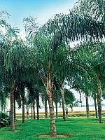 Palmier cocos