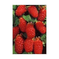 Arbust fructifer zmeur