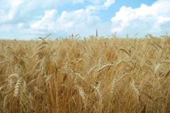Cultura cerealelor