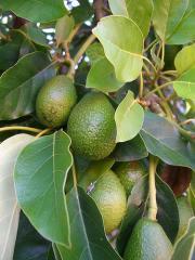 Avocado - Fructe tropicale import