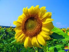 Seminte de floarea soarelui Huracan