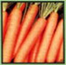 Seminte de morcov Samson
