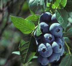 Soiuri de sezon - Bluecrop