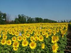 Samanta de floarea soarelui