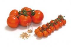 Mudas de tomate