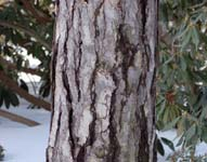 Lemn esenta moale de conifere (pin silvestru)