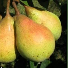 Pear seedlings