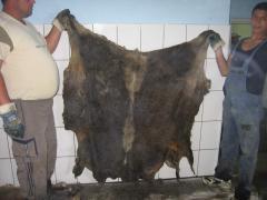 Skin of dairy calf