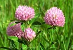 Τριφύλλι ροζ