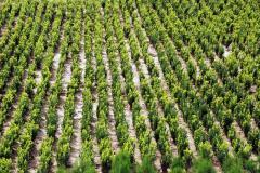 Seedlings boxwood