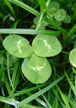Trifoi NANOUK - Trifolium repens L.