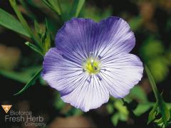 Seed flax