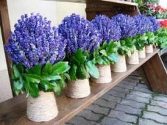 Ghivece flori lavanda