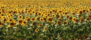 Srot de floarea-soarelui