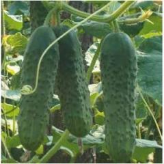 Seeds of cucumbers Ekol F1 500 Sem