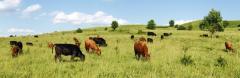 Meat cattle