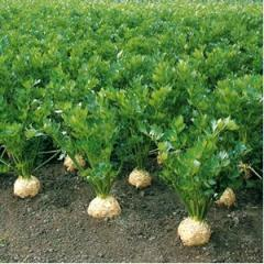 Celery seeds F1 10 000 Diamond M